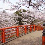 城山公園の桜が満開です♪水郷おみがわ桜つつじまつり2018