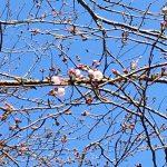 小見川さくらつつじ祭り 千葉県でも有数の観光スポットの桜の開花が始まりました!
