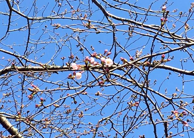 水郷のとりやさん実店舗近くの城山公園の桜