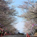 今日から水郷小見川桜つつじまつりが始まります!お花見スポット 城山公園の桜の開花状況もあります^^