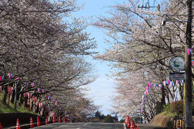 小見川城山公園 桜並木