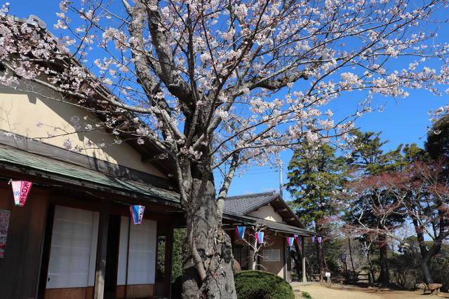 小見川城山公園 お花見イベントで 野点を行う清風荘
