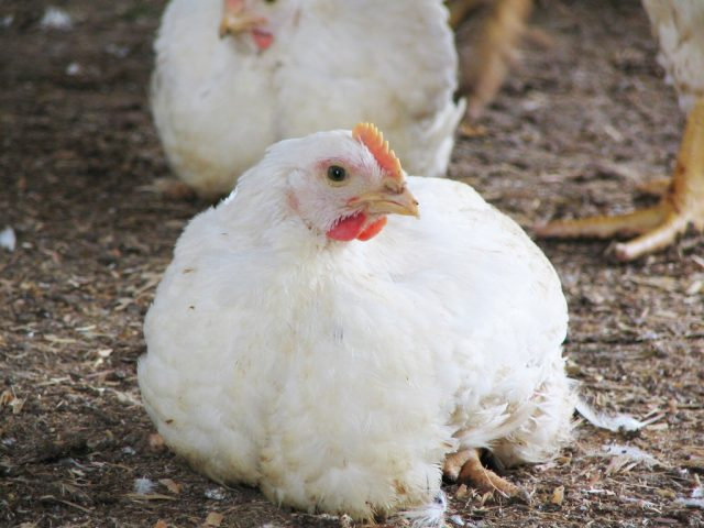 中小企業・小規模企業表彰 鶏一筋 水郷どり