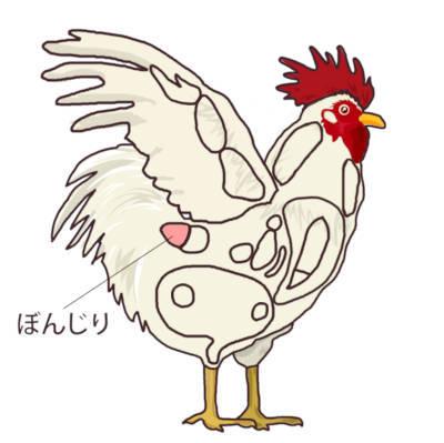 鶏肉の部位 ぼん尻の位置