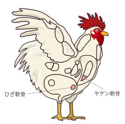 鶏肉の部位 軟骨の位置
