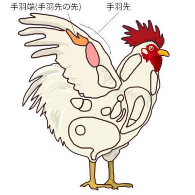 鶏肉の部位 手羽先の位置